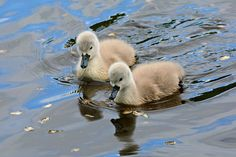Free Image on Pixabay - Cygnet, Swanling, Swan, Water Bird Free Pictures, Free Images, Today Is Friday, Magick, Swan, Bird, Rock, Animals, Venus