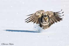 Bence Mate is a Hungarian wildlife photographer, and the most efficient participant in the history of the BBC Wildlife Photographer of The Year competition. Glass Photography, Wildlife, Owls, English, English Language, Owl