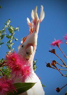 Photo competition: Australiana Entry from: Merryl Kemp Image title: major mitchel in a flowering gum Digital camera: SLR digital camera panasonic DMC - FZ8. f/8. 1/400. ISO 100