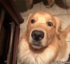 Golden Retriever meme - Google Search