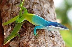 Allison's Anole - Anolis allisoni aka the Blue-headed Anole