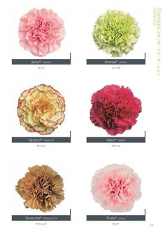 Carnation Colors, Pink Carnations, List Of Flowers, Types Of Flowers, Blooming Flowers, Spring Flowers, Pretty Flowers, Colorful Flowers, Carnation Wedding