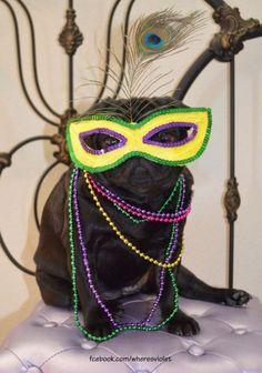 "boodapug: "" Here's Violet celebrating Mardi Gras! Happy Fat Tuesday everyone! Pugs In Costume, Costumes, Brindle Pug, Pug Rescue, Pugs And Kisses, Pug Art, Mardi Gras Party, Black Pug, Cute Pugs"