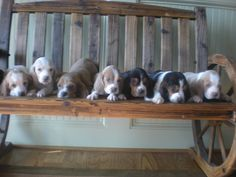 my basset hounds puppies so cute gotta love bassets