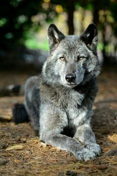 I <3 wolves