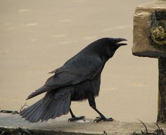 Crow | Flickr - Photo Sharing!