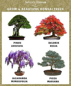Nature's Blossom seed starter kit offers everything you need to grow 4 beautiful bonsai trees indoors or outdoors. Fun gardening gift for kids & adults. Get yours bonsai trees seed starter kit now and start growing your own zen bonsai garden today! Buy Bonsai Tree, Bonsai Tree Types, Indoor Bonsai Tree, Bonsai Art, Bonsai Tree Care, Delonix Regia, Potted Trees, Flowering Trees, Growing Seeds