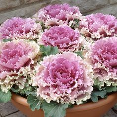 The Northern Lights Pink Blush ornamental cabbage produces big bold pinky coloured brassicas.