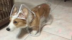 Just a corgi in a corgi raincoat hating its life