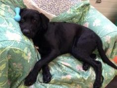 TEDDY- Typical Labbie LoveBug! is an adoptable Black Labrador Retriever Dog in Doylestown, PA. TEDDY�Boy-��This handsome�Lab mix looks�pure-bred.. He has that Block-head and Otter type tail like the...