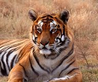 Tiger - Download From Over 43 Million High Quality Stock Photos, Images, Vectors. Sign up for FREE today. Image: 60327349