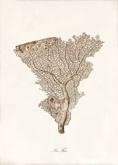 Blue Coral Art Print - 5 x 7 - Sea Fan Sepia