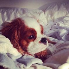 Cavalier King Charles ~ Morning sunrise ~ Cavalier ~ doggiechecks.com