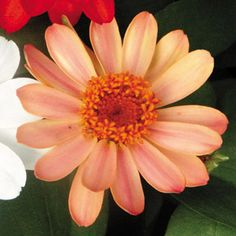One of the newest introductions in the Zinnia Profusion series, Profusion Apricot is ideal for mass plantings or containers and it laughs at heat, humidity, and drought. Parkseed.com for all of your gardening needs.