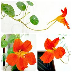 Capuchinha ... veio flor laranja ... Um pouco de cor quente   #Capuchinha #Flor #Planta #Verde #Cordelaranja #Natureza #Decoração #Paisagismo #Flower #Landscaping #Brazil #Beleza #Nature #Alive #Beautiful #Beauty #Green #Garden #Gardening #Jardim #Happy #Plant #FlorLaranja #OrangeFlower #MyHouse #MinhaCasa #InMyHouse #InMyGarden