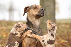Originally from Louisiana – where they are recognized as the official state dog – and sometimes called Leopard Dogs for their distinctive coats and striking eyes, Catahoula Curs have a history of hunting wild boar. Today they are less often admired for their extraordinary working abilities as they are for their wildly varied coats, with any colour imaginable among dogs.
