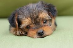 Shorkie Puppies, Lancaster Puppies, Most Popular Dog Breeds, Puppies For Sale, Dogs, Animals, Animales, Animaux, Pet Dogs