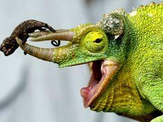 Chamäleon bei merkur-online / Chameleon at merkur-online
