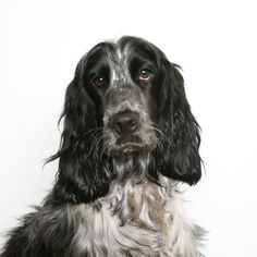 Although there are slight differences between the English and American Cocker Spaniel – both breeds are combined here. This willgive you an overall view ofit's Spiritual connections with humans as a totem, messenger or dream symbol. If Cocker Spaniel has come across your path; Cocker Spaniel could bereminding you that on occasion peoplerespond to situations ...