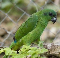 Black-billed-Amazon-Black-billed-Parrot-6.jpg (480×465)