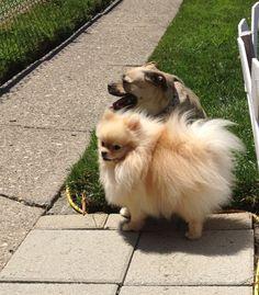 Pomeranian, dog, cream pom- Sophie Instagram @pommygirls, dog, fluffy, puppy
