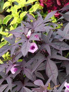 Ipomoea batatas (plantules pourpre feuilles en fleur)
