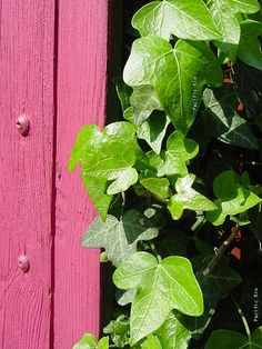 pink gate and green ivy