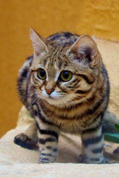 The Black Footed Cat. Native to Africa, the Black Footed Cat is one of the smallest breed of wild cats. OMG how precious! Kittens Cutest, Cats And Kittens, Big Cats, Black Cat Breeds, African Wild Cat, Rusty Spotted Cat, Black Footed Cat, Leopard Cat, Cheetah