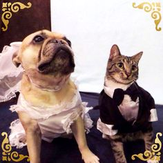 Roxy and Dubbs are getting married.  French Bulldog and Cat wedding photo.