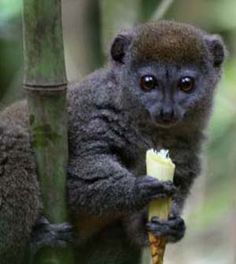The Greater Bamboo Lemur (Prolemur simus) is one of the most endangered primates in the world. Primates, Mammals, Baby Exotic Animals, Cute Animals, Flying Lemur, Madagascar Travel, New World Monkey, Magnificent Beasts, Animal 2