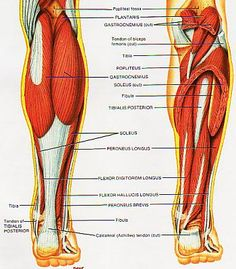 """Shin Splints and Shin Splint Treatment Lower Leg Muscle Group picture used from """"Principles of Anatomy and Physiology"""" - Sixth Edition. Tortora and N. Published by Harper & Row - 1990 Shin Splint Exercises, Shin Splints, Lower Leg Muscles, Calf Muscles, Leg Muscle Groups, Fitness Tips, Health Fitness, Muscle Anatomy, Leg Anatomy"""