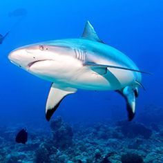 Find incredible shark facts for kids. Learn all about sharks and then come and meet them at SEA LIFE London Aquarium. Shark Facts For Kids, All About Sharks, Big Shark, Wild Nature, Big Fish, Habitats, Creatures, Life, Animals