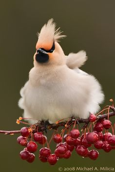 bohemian waxwing  (photo via the featured creature)
