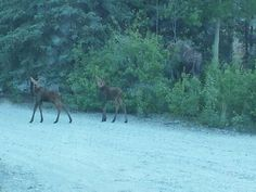 Mother moose and her cubs