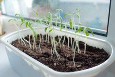 Как защитить рассаду от вытягивания? Farm Gardens, Garden Landscaping, Garden Tools, Landscape, Plants, Outdoor, Yandex, Sad, Quotes