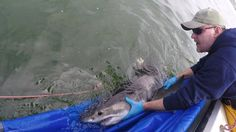 Researcher Chris Lowe releases a juvenile white shark earlier this spring.  Cal State Long Beach Shark Lab