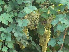 Sagra della Zucca e dell'Uva Baccarona a Borgo Rivola http://www.sagreromagnole.it/?p=4401