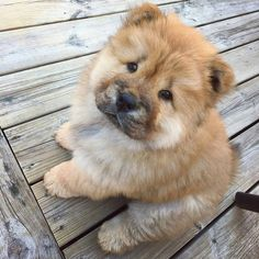 Cute Dogs And Puppies, Baby Puppies, Pet Dogs, Doggies, Perros Chow Chow, Chow Chow Dogs, Baby Animals Pictures, Cute Animal Photos, Fluffy Dogs