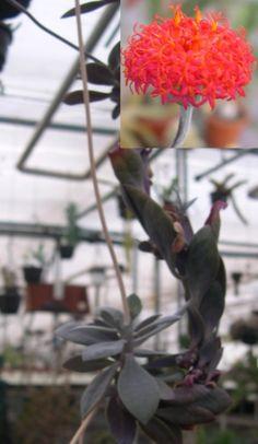 Kleinia grantii