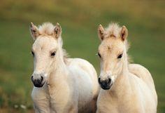 (Norwegian Fjord Foals) * * TWINNER WINNERS !