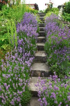 Lavendel, Lavandula angustifolia, är originalet, den växt som mest av alla associeras med sol och södra Europa, och därifrån har den också sitt ursprung. Den är en aromatisk halvbuske som kan användas både i rabatten och för att skapa infattningshäckar, som på bilden från Citadellets koloniträdgård i Landskrona. För att inte bli gles kan den skäras ner ganska hårt på våren just innan den börjar vakna till liv, men inte nödvändigtvis varje år. Blommar i juli–augusti och blir omkring 40 cm… Stepping Stones, Outdoor Decor, Home Decor, Sun, Europe, Lavender, Photo Illustration, Stair Risers, Decoration Home