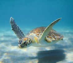Put a pair of fins on, a mask and glide along the bottom! Baby Sea Turtles, Sea Turtle Art, Pet Turtle, Turtle Love, Cute Turtles, Small Turtles, Sea Turtle Wallpaper, Sea Turtle Pictures, Tortoise Turtle