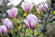 Magnolia Tree: Plant, Grow and Care for Magnolias - BBC Gardeners' World Magazine Small Ornamental Trees, Small Trees, Magnolia Gardens, Magnolia Trees, Garden Trees, Garden Plants, Small Gardens, Outdoor Gardens, Magnolia Soulangeana