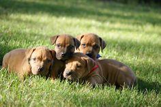 Boerboel Puppies  www.greatlakesboerboels.com