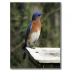 How to build a bluebird Nest box trail. Eastern Bluebird photos and print-on-demand products available at zazzle.com/naturegirl7*