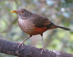 Foto sabiá-laranjeira (Turdus rufiventris) por Sergio Motta | Wiki Aves - A Enciclopédia das Aves do Brasil