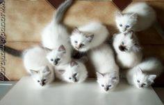 cuccioli, Albafeles kittens, Sacred Birman cats by claudiabirmans, via Flickr