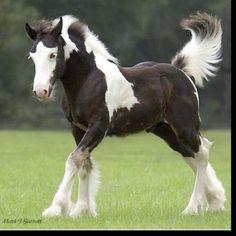 Clydesale foal.
