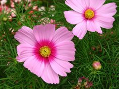 Cosmos Seeds - GLORIA - Heavy Flowering - Cosmos Bipinnatus - 25 Seeds   eBay