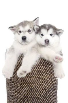 Photographic Print: Puppies 018 by Andrea Mascitti : 24x16in